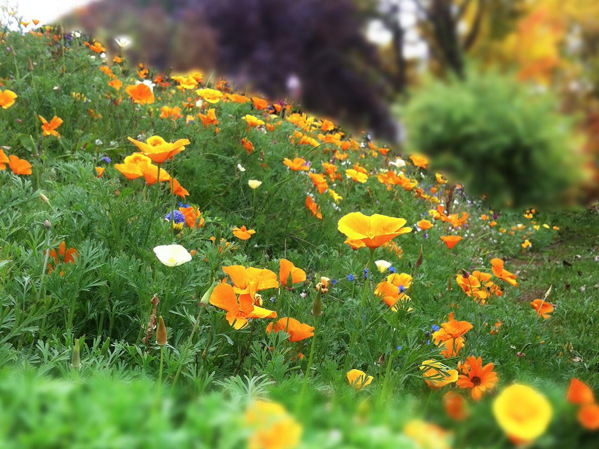 Nova-Flore, nova, flore, biodiversité, mélanges fleurs, mélanges jachère, mélanges prairie fleurie,